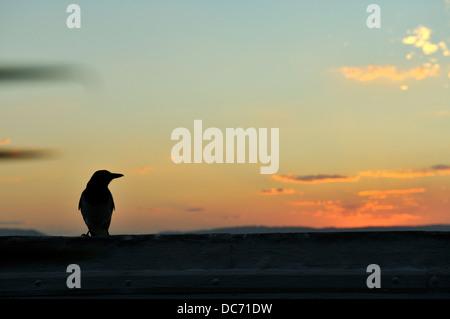Pied Butcherbird (Cracticus nigrogularis) in silhouette against setting sun. Queensland, Australia - Stock Image