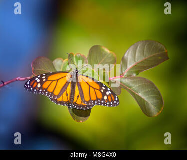 A beautiful and colorful Monarch Butterfly perches on a plant in the Florida Everglades. - Stock Image