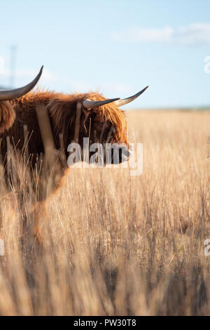 Highland cow on the farm during the day - Stock Image