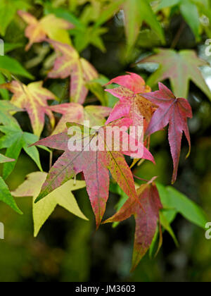 Autumn leaves of the Liquidambar styraciflua at a French Country House garden - Stock Image