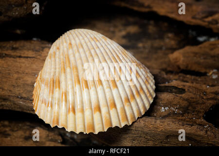 Clam shell collected from the beach at Fort Morgan, Alabama. - Stock Image