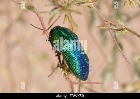 Jewel beetle (Acmaeodera viridaenea : Buprestidae) Namibia - Stock Image