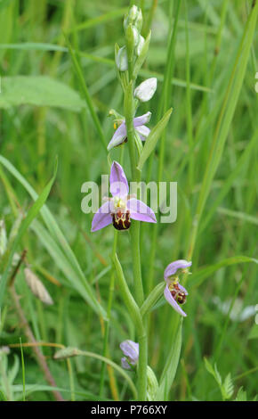 Flowers and buds on the flowering head of a Bee Orchid (Ophrys apifera). Rye Harbour Nature Reserve. Rye, Sussex, UK - Stock Image