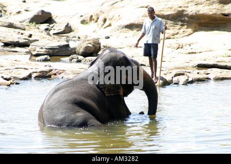 Elephant cooling off in a river near Pinnewela elephant orphanage Sri Lanka - Stock Image