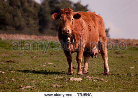 A cow in the pasture - Stock Image