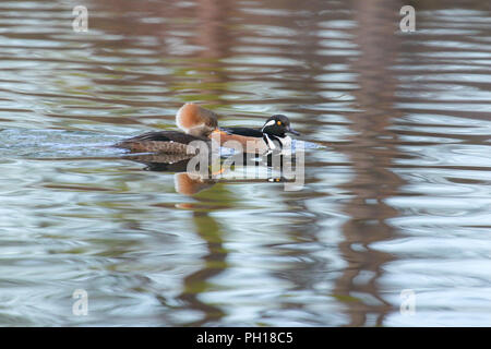 A pair of hooded mergansers on water. - Stock Image