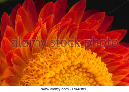 Strawflower close up in Costa Rica - Stock Image