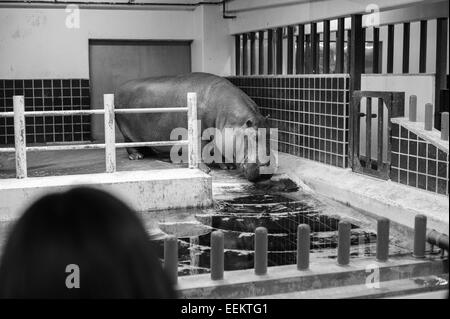 A hippopotamus stands in an indoor cage in Ueno Zoo during the winter - Stock Image