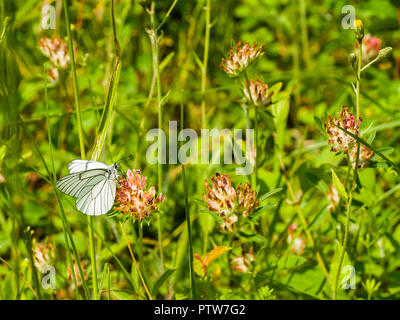 Black Veined White butterfly (extinct in Britain) - France. - Stock Image