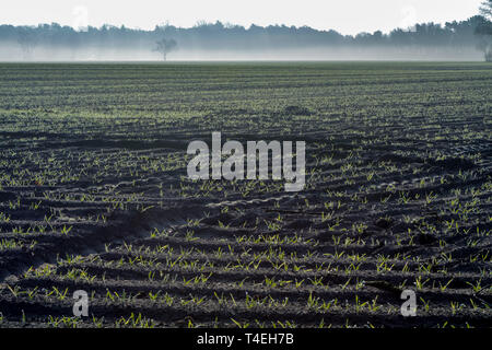 Morning spring landscape with newly plowed field with young corn sprounts, farmland in  Netherlands in Europe - Stock Image