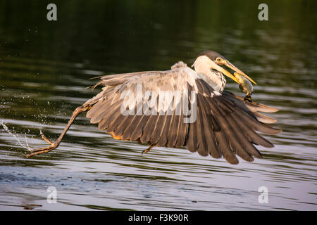 Cocoi Heron or White-necked Heron, Ardea cocoi, flying off with a fish in its beak, in the Pantanal, Mato Grosso, - Stock Image