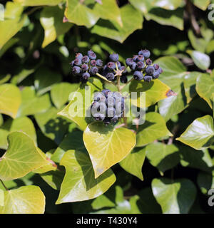 Ivy berries and plenty of leaves of ivy plants in closeup. This photo was taken during a sunny spring day in Nyon, Switzerland. Colorful closeup. - Stock Image