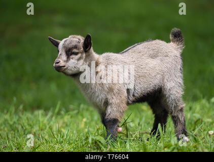 Gray Baby Goat - Stock Image
