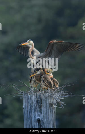USA, Washington State. Great Blue Heron (Ardea herodias) adult with begging chicks at nest in colony at Everett Marina. - Stock Image