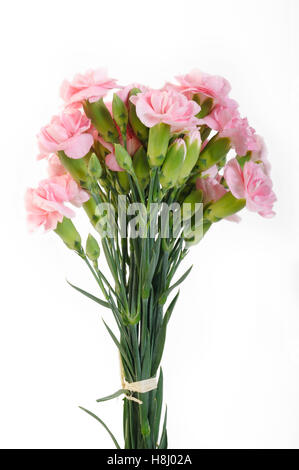 pink carnation flowers on white background - Stock Image