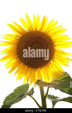 sunflower isolated on white background - Stock Image