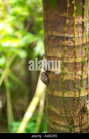 Snails on a bamboo tree in the Puerto Rican rain forest. - Stock Image