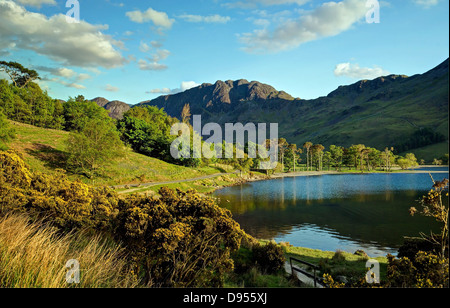 The Pine Trees at Buttermere Water - Stock Image