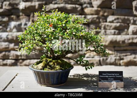 Chaenomeles japonica - Chojubai - dwarf flowering quince, age 20 years, at Portland Japanese Garden in Portland, Oregon, USA. - Stock Image