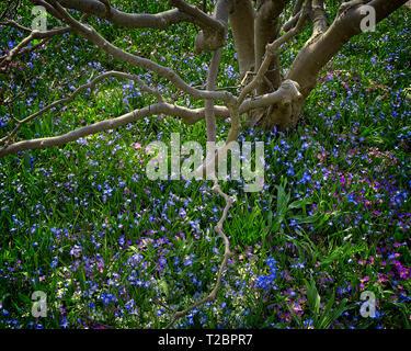 FLORA: Glory of the Snow, (lat: Chionodoxa luciliae) under Magnolia Tree - Stock Image