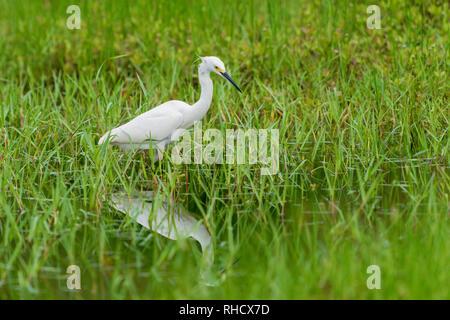 white common little egret egretta garzetta on green grass  background - Stock Image