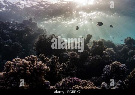 Damselfish hover in light rays over coral reef in the Red Sea - Stock Image