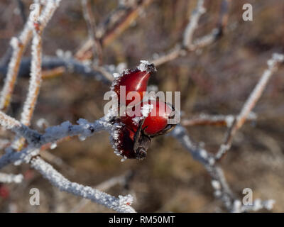 Hip with frost - Stock Image