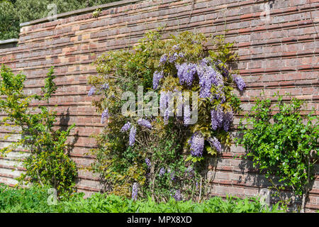 Purple flowering Wisteria Sinensis, climber up a ridged brick wall, the Walled Garden, Delapre Abbey, Northampton, UK - Stock Image