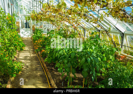 Interior of the a Vinehouse at Helmsley Walled Garden North Yorkshire with vines growing under glass and vegetables at ground level - Stock Image