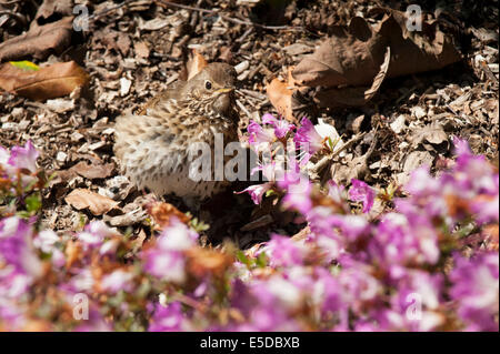 Thrush songbird in garden undergrowth with pink flowers demonstrating superb camouflage against background - Stock Image