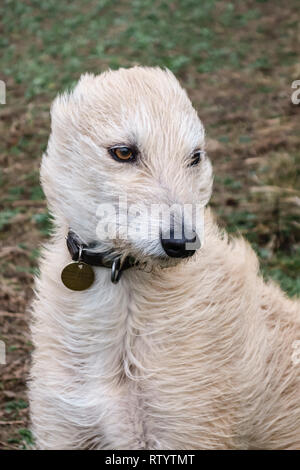 Presteigne, Powys, UK. 3rd March,2019. UK weather. Storm Freya gives a lurcher dog a new hairstyle as she faces into the strong winds Credit: Alex Ramsay/Alamy Live News - Stock Image