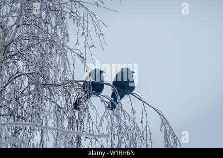 Jackdaw sitting on the branch of a birch on background of blue sky - Stock Image