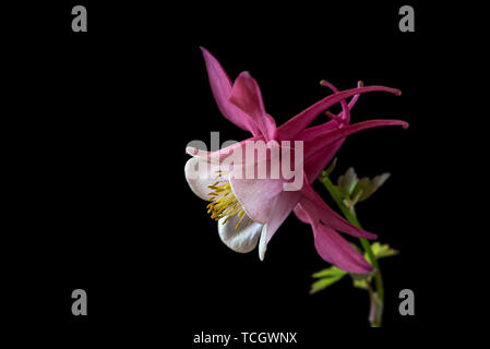 Aquilegia Spring Magic Rose and White,spring magic series,Ranunculaceae,low key life science, black background - Stock Image