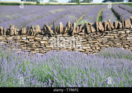 The striking blue lavender fields on the Mendip Hills separated by a drystone wall at Faulkland,Somerset,UK - Stock Image