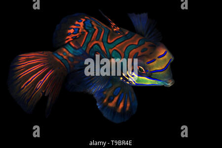 Mandarinfish (aka Mandarin Dragonet, Synchiropus splendidus) on Black Background. Moalboal, Philippines - Stock Image