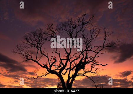 A dead tree at sunset in North Pantanal, Brazil - Stock Image