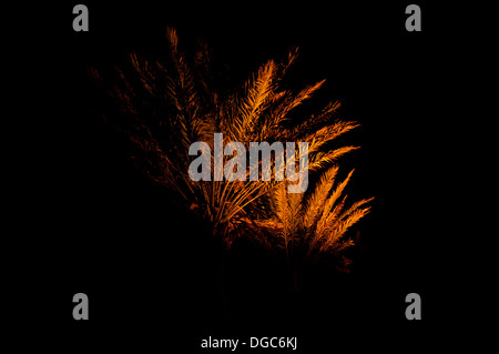 palm trees illuminated at night with orange light looks like a firework - Stock Image