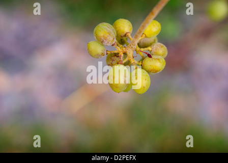Young Wine Grapes hanging from the vine. - Stock Image