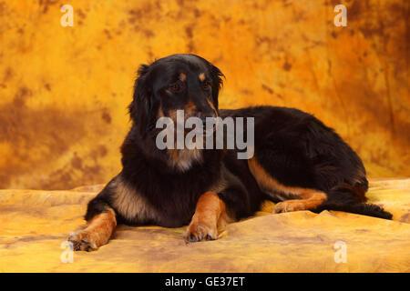 Hovawart, bitch, black-and-tan, 17 months|Hovawart, Huendin, schwarz-marken, 17 Monate - Stock Image