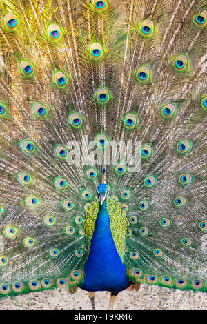 Indian male peacock (blue peafowl, pavo cristatus) with his tail feathers open - Stock Image