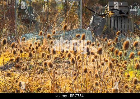 Teasels in the autumn sunset, Eglinton Growers, Kilwinning, Ayrshire, Scotland - Stock Image