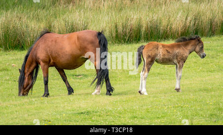 A horse and a foal on a meadow - Stock Image