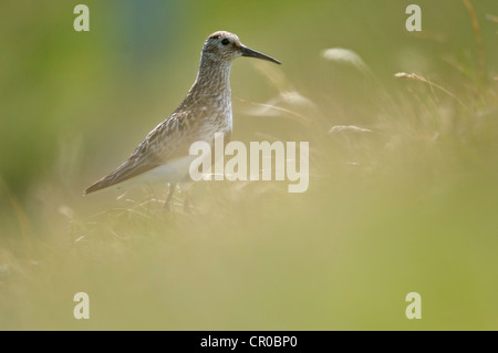 Dunlin (Calidris alpina) adult in breeding plumage on moorland. Shetland Isles. June. - Stock Image