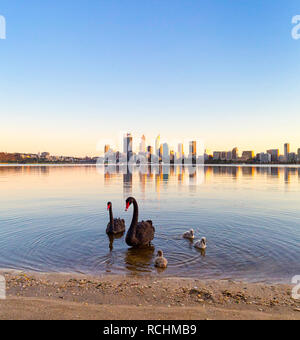 Perth, Western Australia. Two black swans - Cygnus atratus - and their cygnets on the shores of the Swan River in South Perth - Stock Image