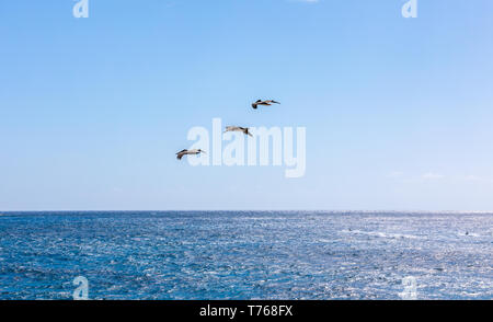 Thee pelicans in flight off the beach at Grand Fond, St Barts - Stock Image