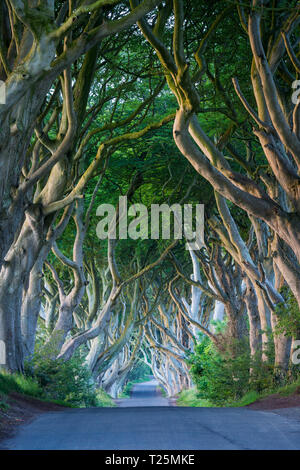 18th Century Beech Tree lined road known as the Dark Hedges near Stanocum, County Antrim, Northern Ireland, UK - Stock Image