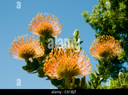 Leucospermum cordifolium, or 'pincushion' flower, a member of the protea family and indigenous to South - Stock Image