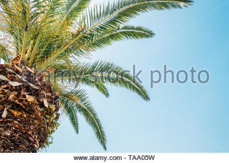 Tropical green palm tree background - Stock Image