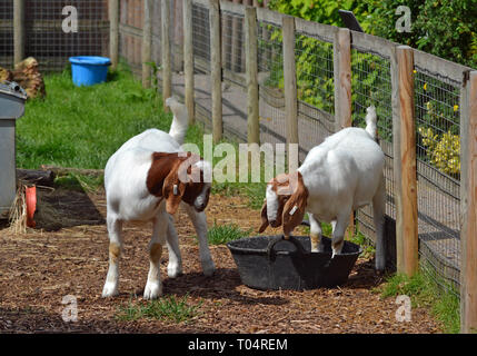 Goats at the Tropical Wings Zoo, Chelmsford, Essex, UK. This zoo closed in December 2017. - Stock Image