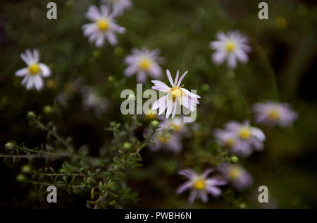 Thaxted, Essex. 15th Oct 2018. UK Weather: Last colours of Autumn in my garden in Thaxted Essex England. 15 October 2018 Michaelmas Daisy Credit: BRIAN HARRIS/Alamy Live News - Stock Image